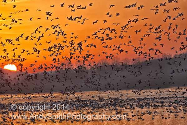 Coud of Snow Geese at SSunrise