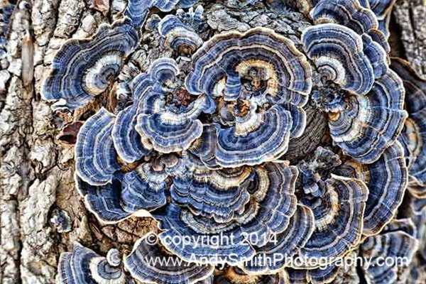 Turkey Tail mushrooms