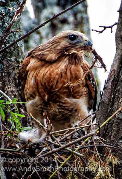 Broad-winged Hawk Building nest