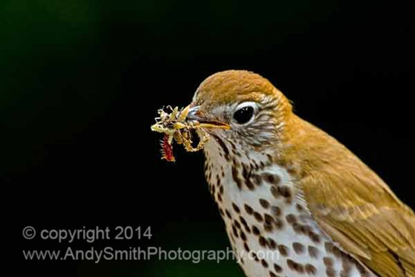 Wood Thrush with a Mouthful