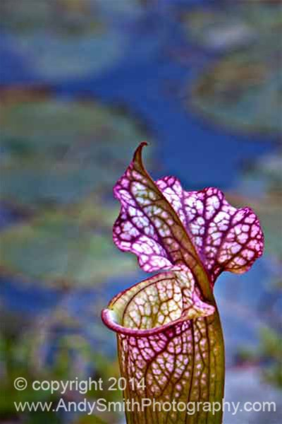 Pitcher Plant and Lily Pads