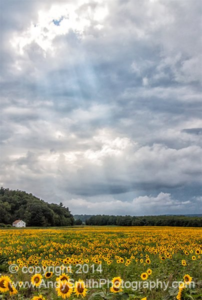 Sunflower Field Before the Storm