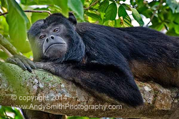 Howler Monkey Male