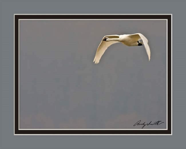 Tundra Swan in Flight at Sunriise