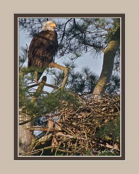 Bald Eagle on Nest in Valley Forge