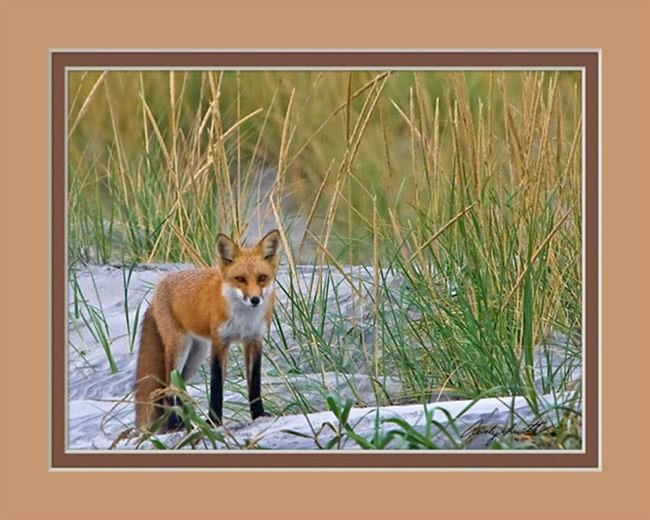 Red Fox at Brigantine