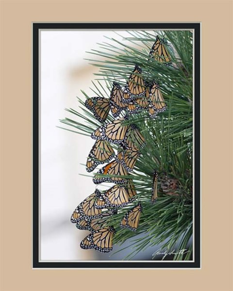 Monarchs in Migration