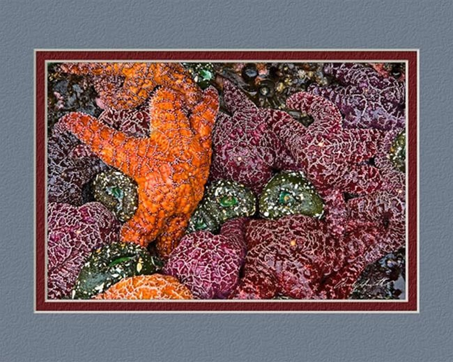 Purple Ochre Sea Stars