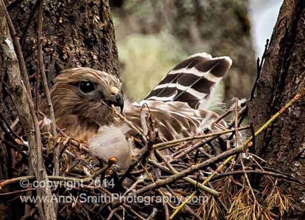 Broad-winged hawk on Nest