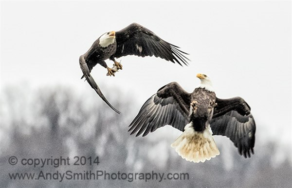 Bald Eagle Fighting for Fish