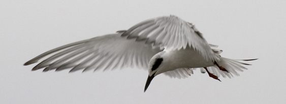 Forsters Tern