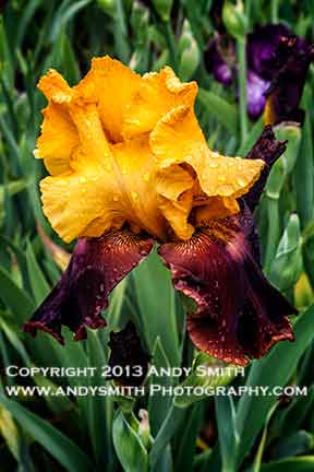 iris variety