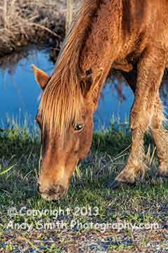 Wild Pony at Assateague Close Up