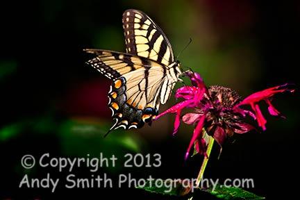 Eastern Swallowtail on Bergamot