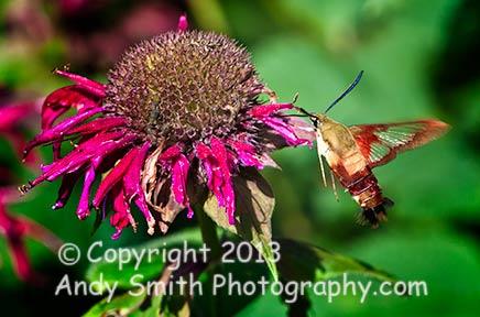 Hummingbird Moth Hovering
