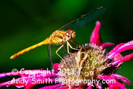 Dragonfly resting on Bergamot