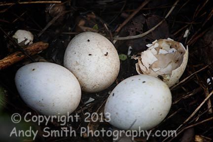 Wild Turkey Nest with Eggs