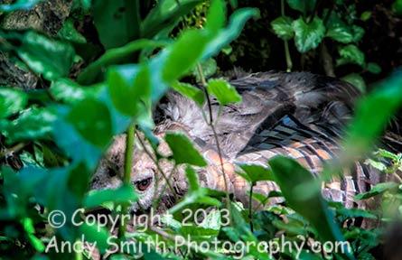 Wild Turkey on Nest