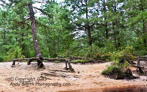 Pines on the Wading River in the Pine Barrens of New Jersey