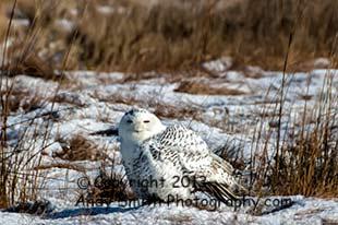 Snowy Owl at Forsythe NWR