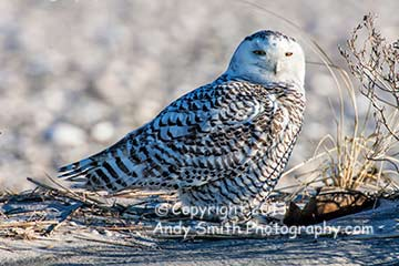 Snowy Owl at Stone Harbor Point NJ