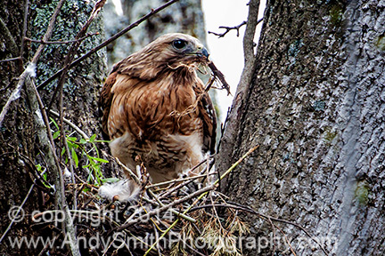 Broadwing Hawk on Nest with Nesting Material
