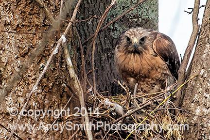 Broadwing Hawk Standing on Nest