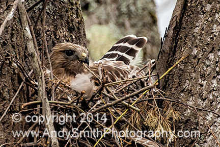 Broadwing Hawk on Nest