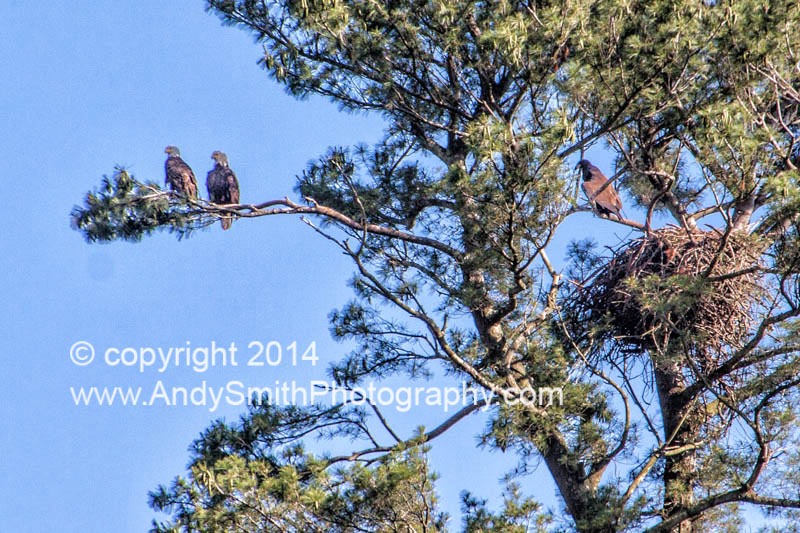 Bald Eagles at Nest with Two Juveniles