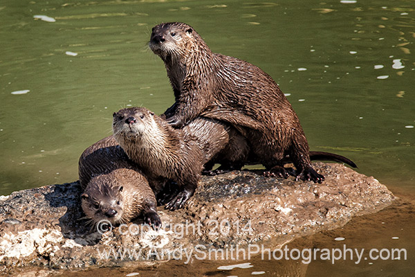 River Otters Looking
