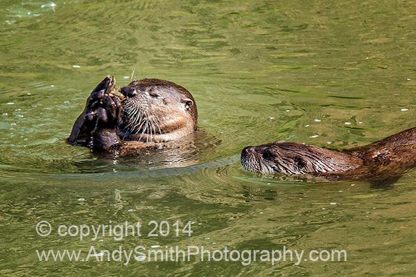 River Otter Eating Crawfish