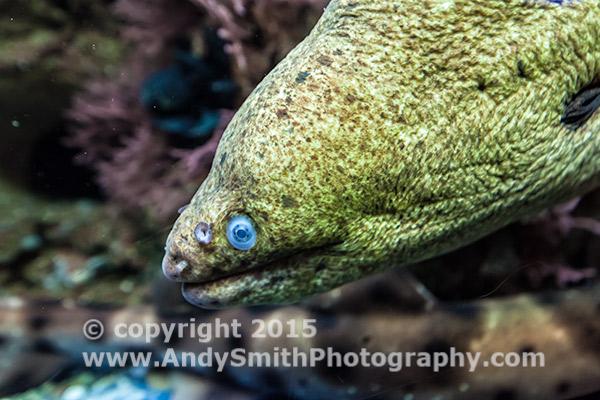 Captive Moray Eel in Shedd Aquarium