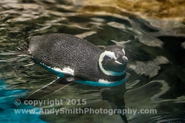 Captive Magellanic Penguin in Shedd Aquarium