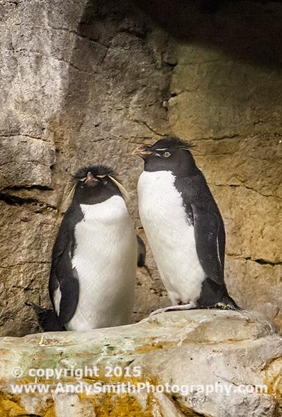 Captive Rockhopper Penguins in Shedd Aquarium