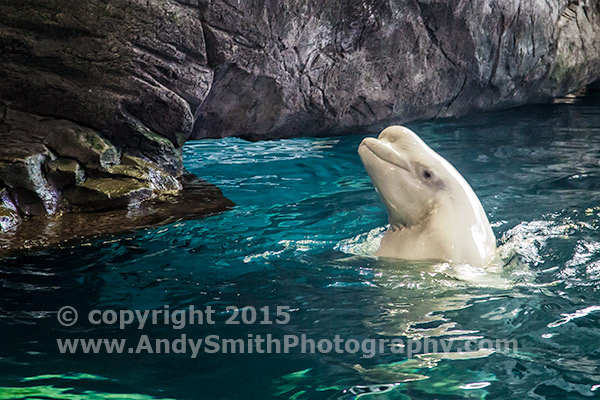 Captive Beluga Whale in Shedd Aquarium